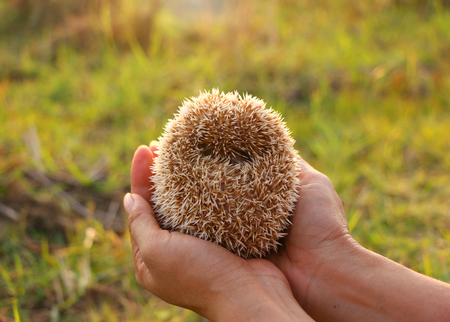 Person Holding Cute Hedgehog in Hands. Scared Spiny Mammal Hedgehog in Defence Position Outdoors on Sunny Day and Women Hands Carefully Holding Him