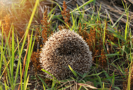Hedgehog curled up into a ball because of fear on floor grass on sunset