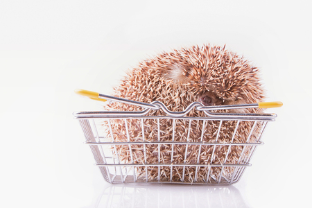 Four-toed Hedgehog, Atelerix albiventris, balled up in blangket for shopping in front of white background Фото со стока