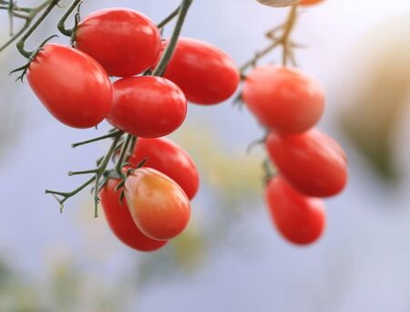 Ripe red tomatoes organic are on the greenhousewith white background, hanging on the vine of a tomato tree in the garden ready for harvest to eat and sell selected focus. Archivio Fotografico - 132098732