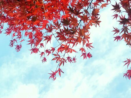The fiery red leaves of the maple tree seem to explode in the foreground of the bright blue sky on autumn season in South Korea ,natural background tree top scenery