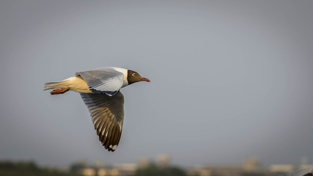 Seagull is a bird migration to Thailand Stock Photo