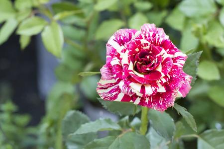 genetically: Genetically Modified Organisms Fancy Rose