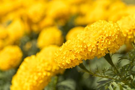 garden marigold: Marigold Yellow Flower Garden Closeup shot Stock Photo