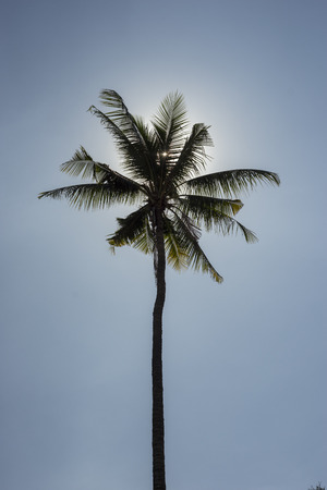 tree  branch: Coconut Tree in the Sky Silhouette