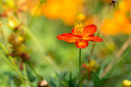 cosmos flower: Orange Cosmos Flower with Blur background