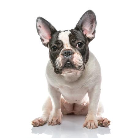 frenchie: French bulldog on Whtie background Stock Photo
