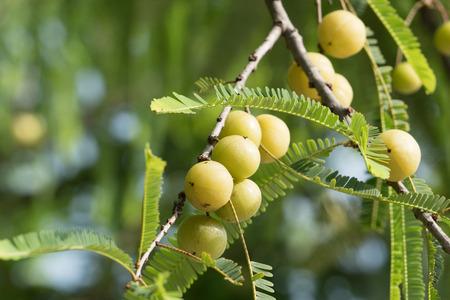 fruit of Malacca Tree Closeup shot