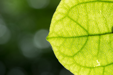 vain: Vain of Green Leaf with blur background Stock Photo