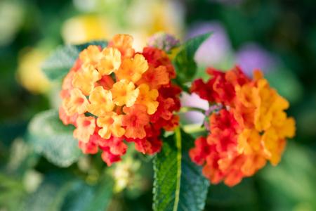 lantana: West Indian Lantana flower macro shot