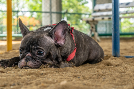 French Bulldog Brindle Crouch on sand of Public park with Blur background Banco de Imagens