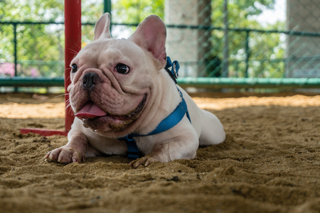 White French Bulldog Crouch on sand of Public park with Blur background