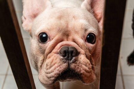 White French bulldog Looking at camera Close up shot Banco de Imagens