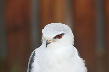 shouldered: Black - Shouldered Kite Stock Photo