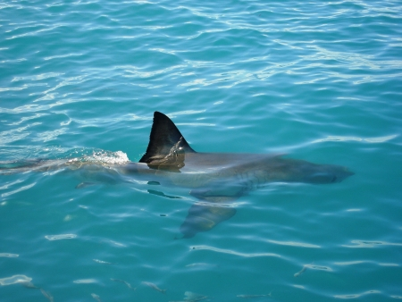 Great White Shark - South Africa photo