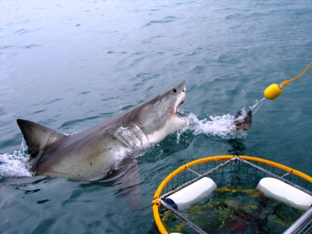 sharks: Great White Shark breeches next to a dive cage.