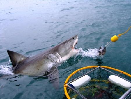 gabbie: Pantaloni di grande squalo bianco accanto a una gabbia di immersione.