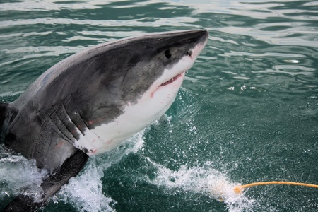 Shark - Great White Stock Photo - 9832292