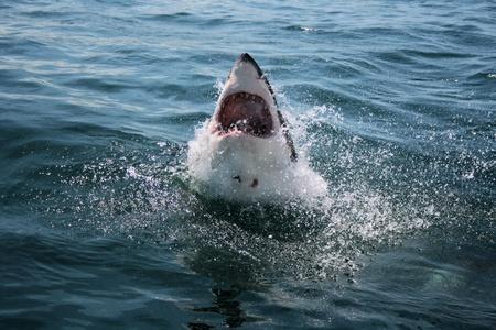 Great White Shark photo