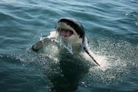 Great White Shark Stock Photo - 10925073