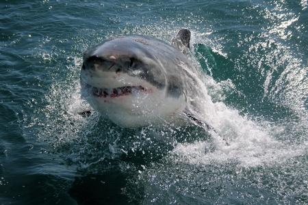 breech: Great White Shark