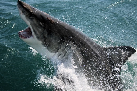 Great White Shark Stock Photo - 12884589