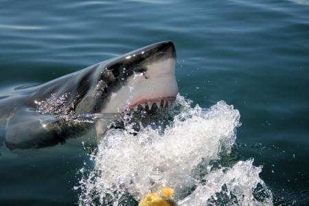 Grande squalo bianco Archivio Fotografico