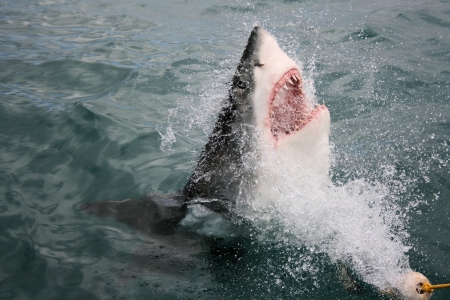 Great White Shark Stock Photo - 14458941