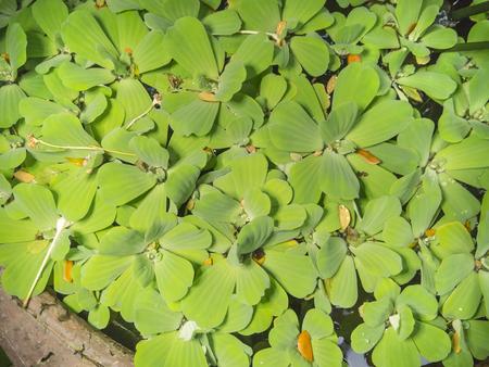 duckweed: background of duckweed Stock Photo