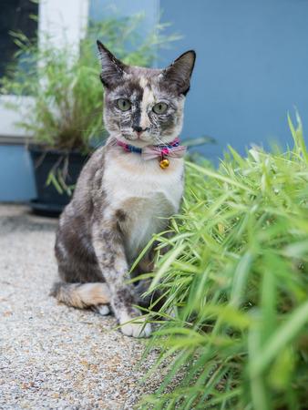 Tri-color Siamese Cat and wheat grass Stock Photo