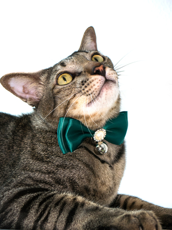 portrait of cat with luxuary bow tie