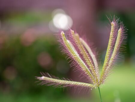Pink Swallen Finger grass flower on blur background