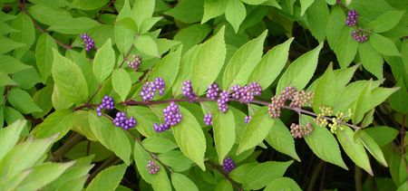 Green spray of leaves with lavender berries