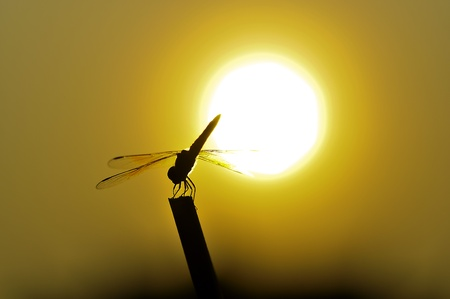 silhouette dragonfly under the sun photo