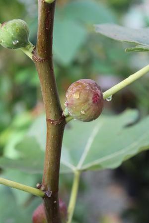 luscious: Fig fruit