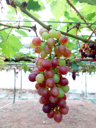 Fresh grape in garden