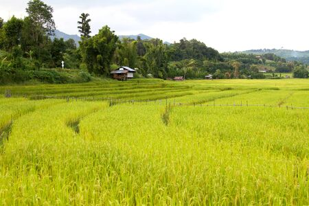 Yellow and green of rice fields.