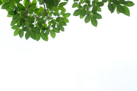 green leaf frame isolated  Standard-Bild
