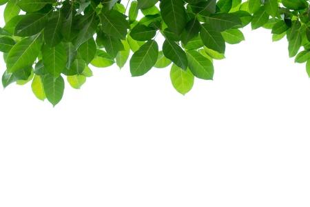 green leaf frame isolated  版權商用圖片