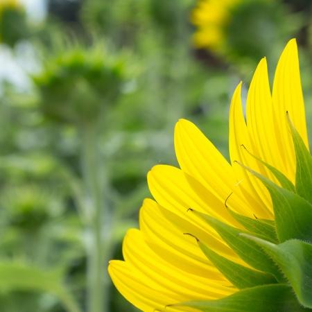 zonnebloem van dichtbij van de achterkant Stockfoto
