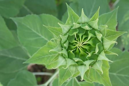 bud sunflower