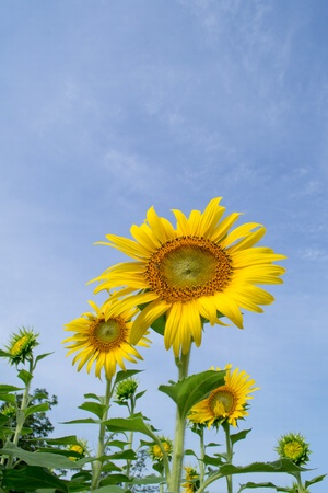 sunflowers on blue sky background photo