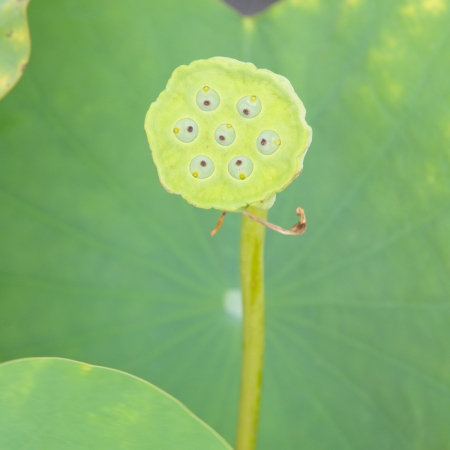 beautiful lotus close up photo
