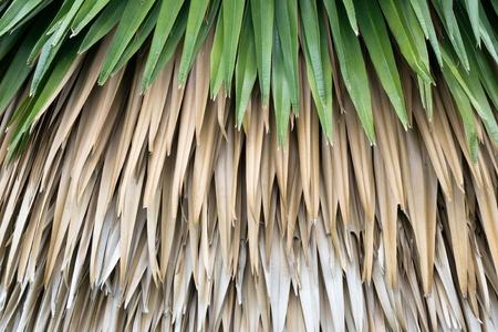 Fresh and dry palm leaf background