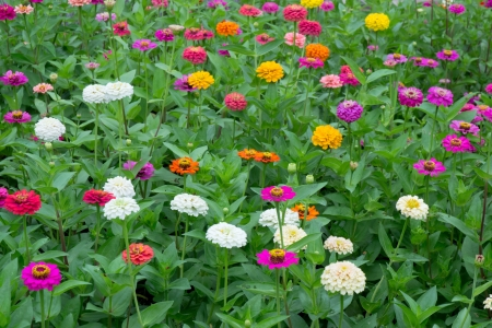 close up of colorful zinnias