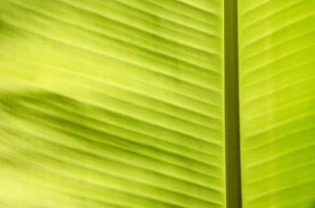 green banana list na pozadí