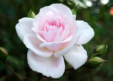 Beautiful pink Rose flower Stock Photo