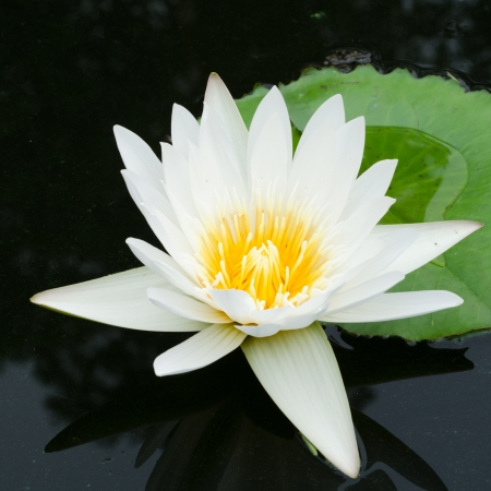 white lotus Stock Photo - 18195524
