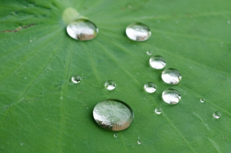 hydrophobic: water drops on green leaf Stock Photo