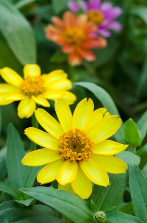 yellow zinnia flower